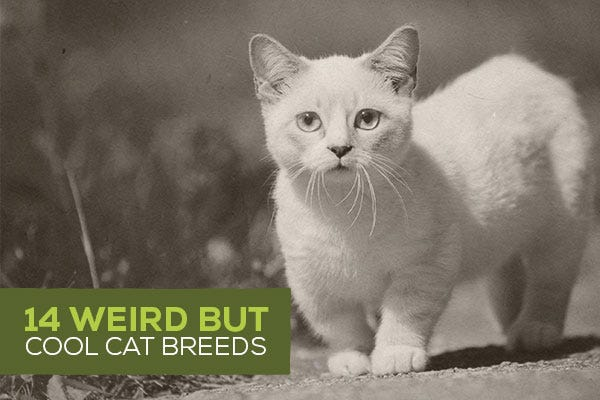 14 Weird but Cool Cat Breeds