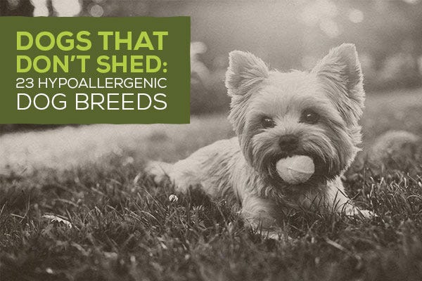 Small Dog Breeds That Stay Small And Dont Shed