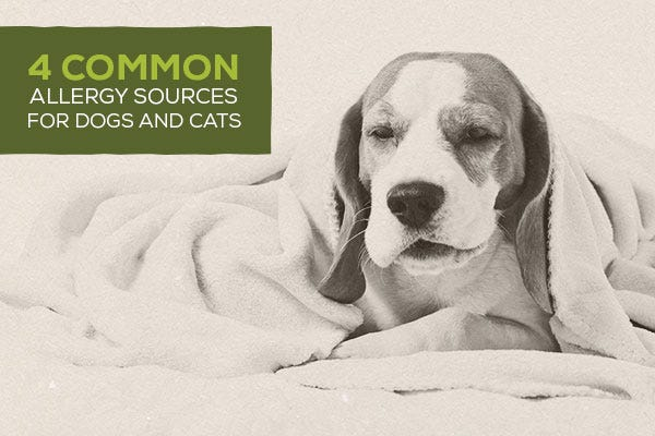 4 Common Allergy Sources for Dogs and Cats