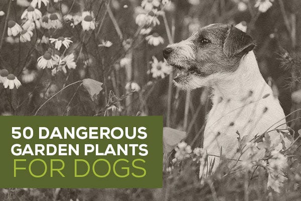 50 Dangerous Garden Plants for Dogs
