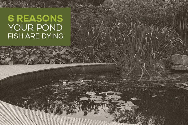 6 Reasons Your Pond Fish are Dying