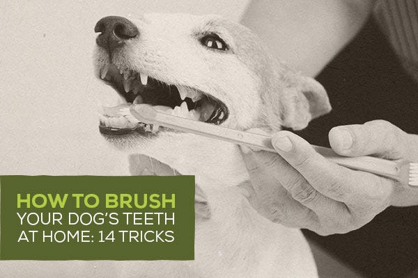 How to Brush Your Dog's Teeth at Home: 14 Tricks