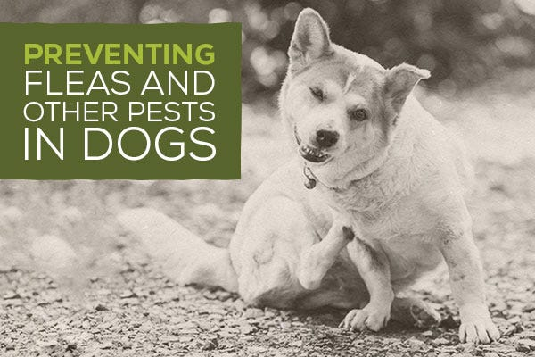 Preventing Fleas and Other Pests in Dogs