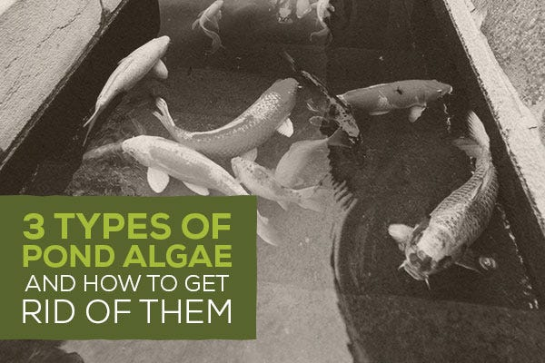 3 Types of Pond Algae – And How to Get Rid of Them