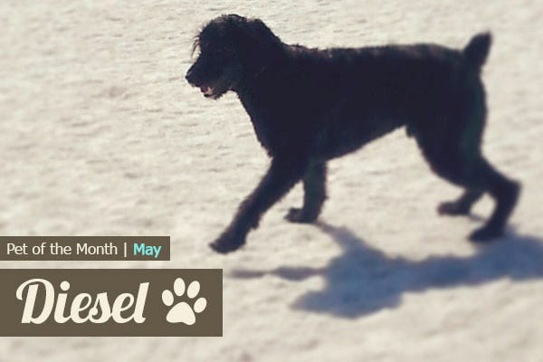 Pet of the Month - Diesel