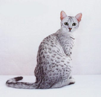 egyptian-mau-cats-weird-cat-breed
