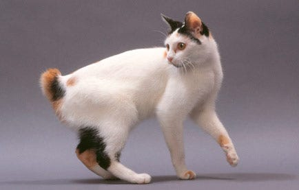 japanese-bobtail-weird-cat-breed
