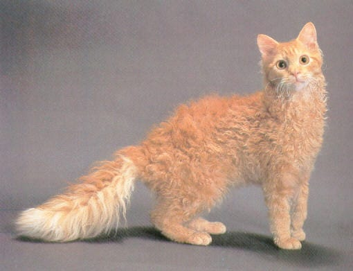 laPerm-weird-cat-breed
