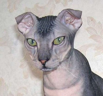 levkoy-weird-cat-breed