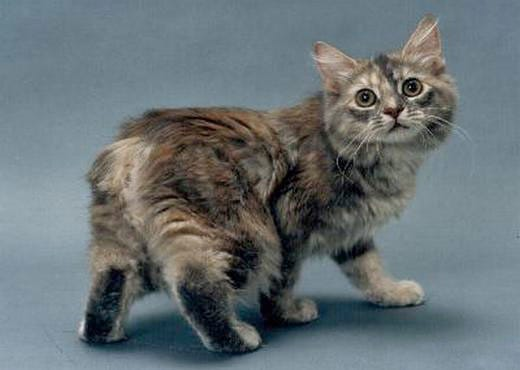 manx-weird-cat-breed