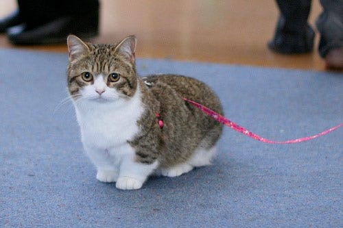 Blog on Pet Health, Nutrition, and Tips | Homes Alive Pets - 14 ... White Teacup Persian Kitten
