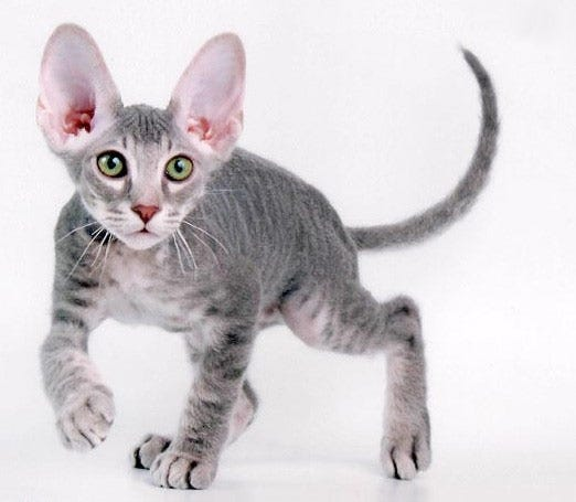 peterbald-weird-cat-breed