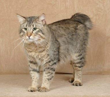Cat That Looks Like A Bob Ca