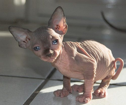 sphynx-weird-cat-breed