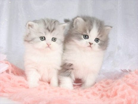 Teacup Persians