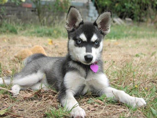 alaskan-klee-kai-weird-dog-breed