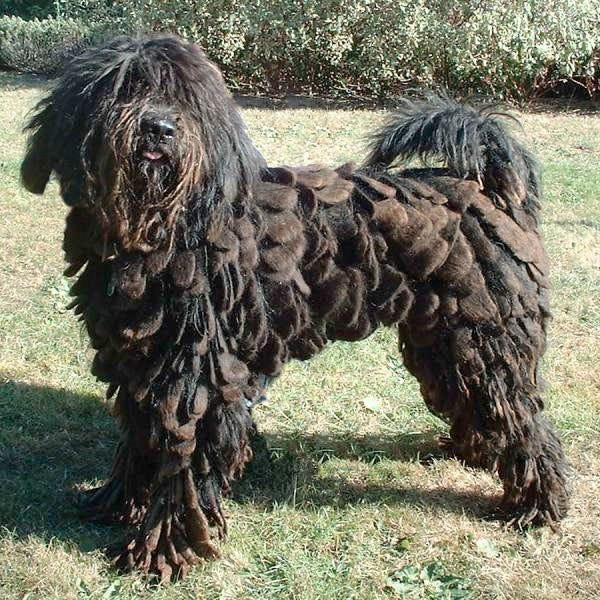 bergamasco-shepherd-weird-dog-breed