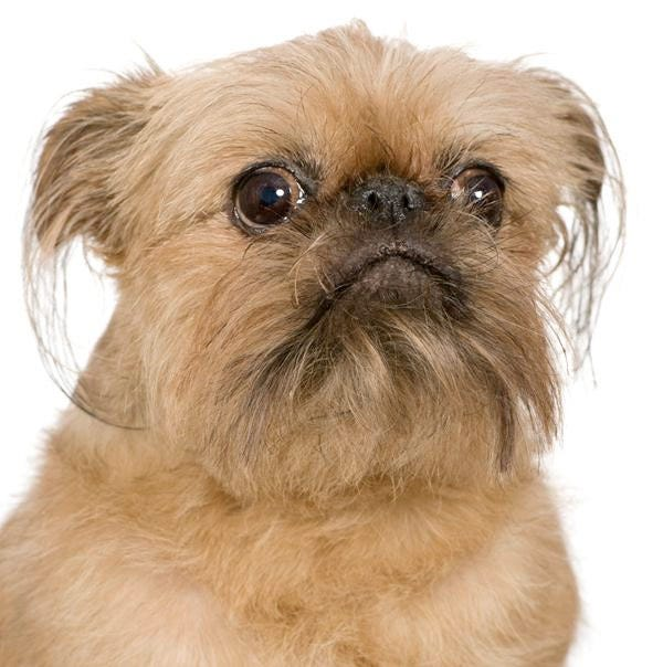 brussels-griffon-weird-dog-breed