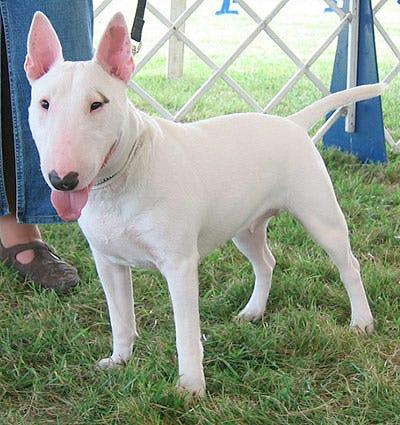 bull-terrier-weird-dog-breed