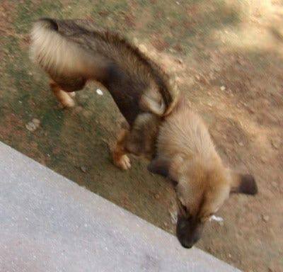 cambodian-razorback-weird-dog-breed