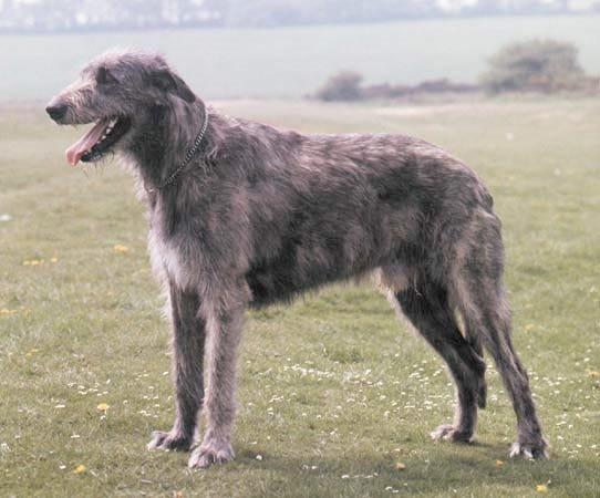 irish-wolfhound-weird-dog-breed