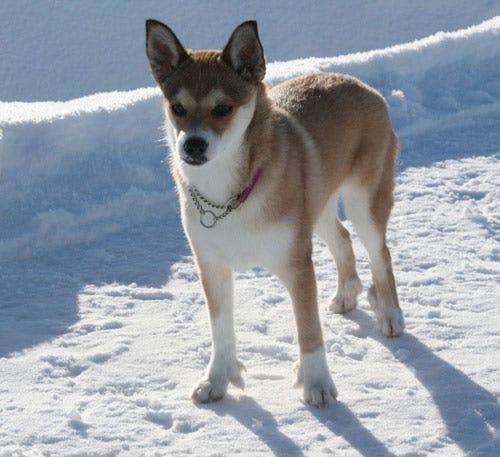 norwegian-lundehund-weird-dog-breed