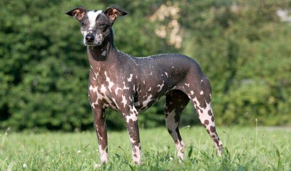 peruvian-inca-orchid-weird-dog-breed