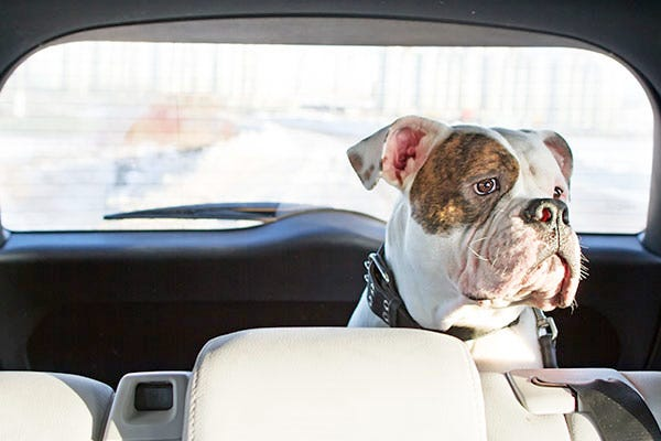 Dog Restrained in Backseat of Car