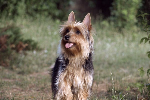silky terrier hypoallergenic dogs that don t shed 23 hypoallergenic dog breeds 7649