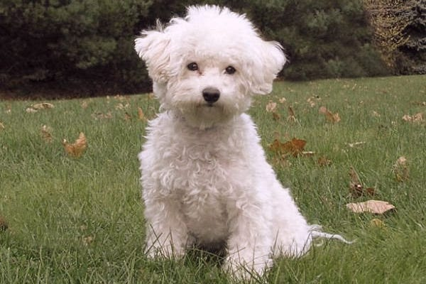 Dogs That Don T Shed 23 Hypoallergenic Dog Breeds