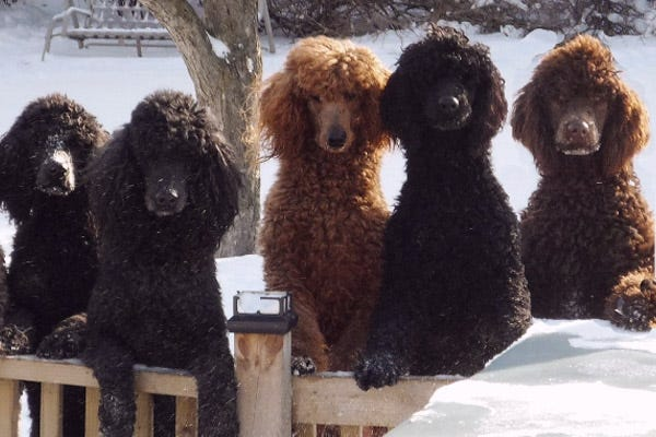 What are the different poodle sizes