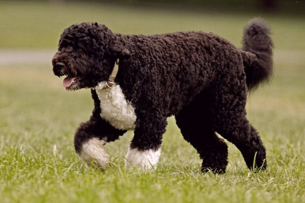 Hypoallergenic Paws The Home Of Dogs That Don T Shed