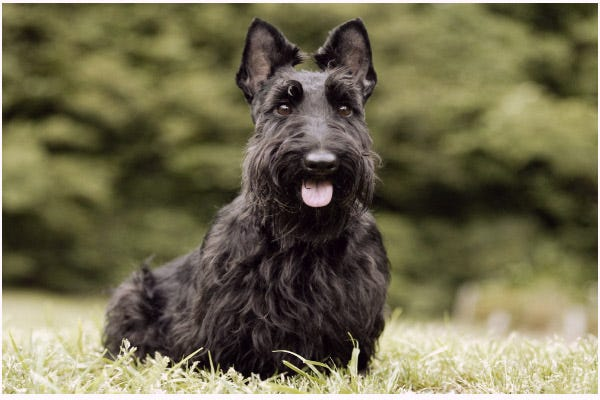 Scottish-Terrier