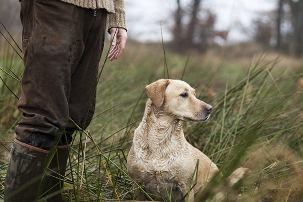Hunting Dog in Field