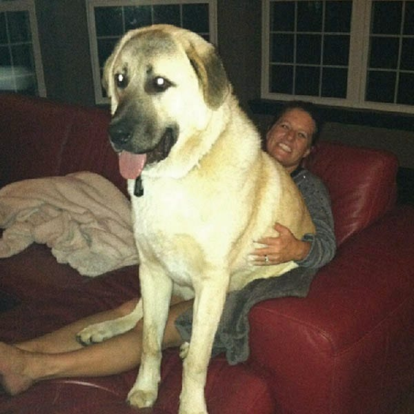 Huge lap dog