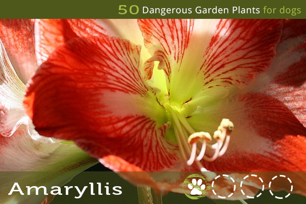 Amaryllis - Dangerous Garden Plants for Dogs