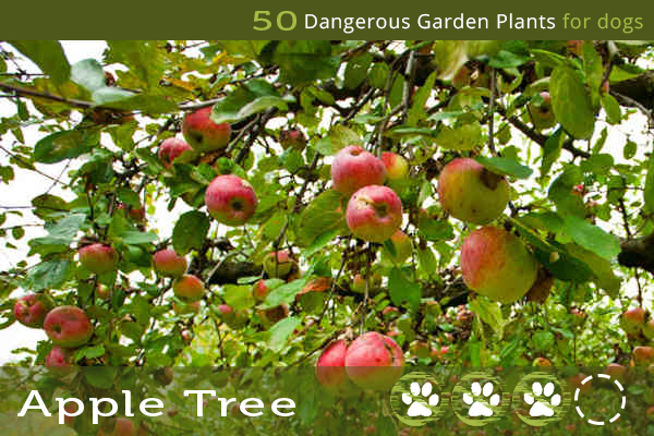 Apple Tree - Poisonous Trees for Dogs