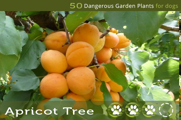Apricot Tree - Poisonous Trees for Dogs