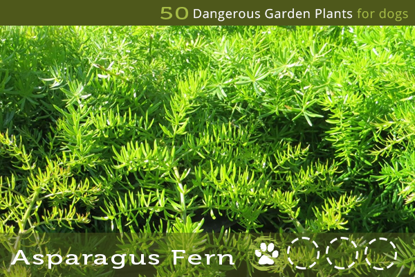 Asparagus Fern - Dangerous Garden Plants for Dogs