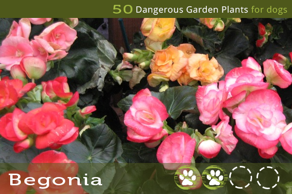 Begonia - Dangerous Garden Plants for Dogs