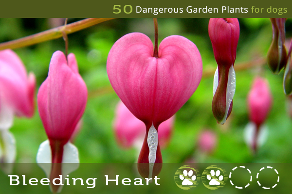 Bleeding Heart - Dangerous Garden Plants for Dogs