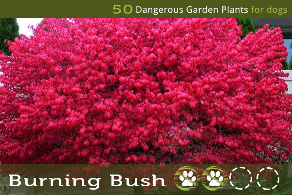 Burning Bush - Toxic Plants for Dogs