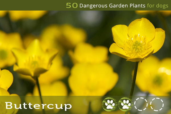 Buttercup - Dangerous Garden Plants for Dogs