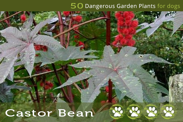 Castor Bean Plant - Dangerous Garden Plants for Dogs
