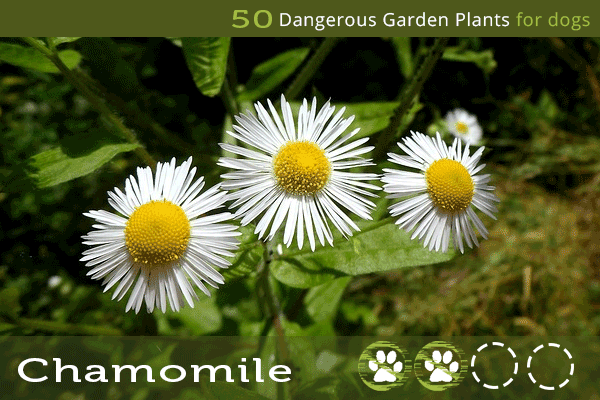 Toxic Plants for Dogs - Chamomile