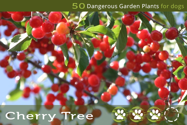 Cherry Tree - Poisonous Trees for Dogs