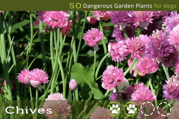 Chives - Toxic Plants for Dogs