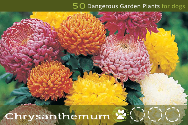Chrysanthemum - Dangerous Garden Plants for Dogs