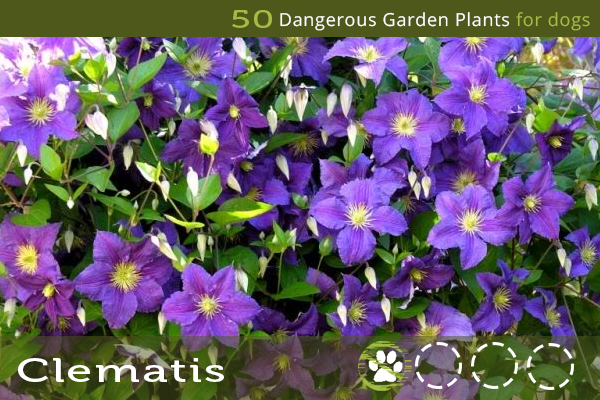 Clematis - Dangerous Garden Plants for Dogs