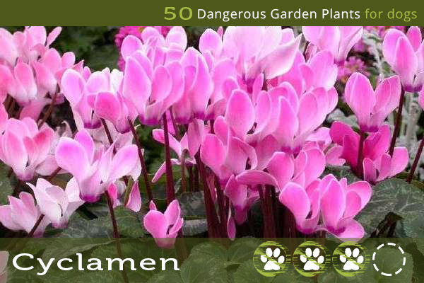 Cyclamen - Dangerous Garden Plants for Dogs